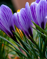 Flower Purple Crocus2-0700